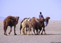 Mongolie-chameau